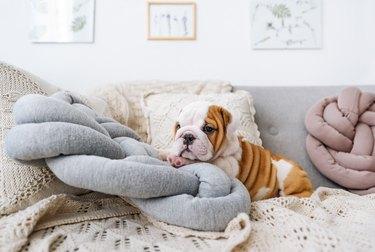 Bulldog puppy lying on the pillow