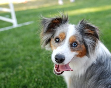 Blue eyed border collie sitting on grass with lolling tongue