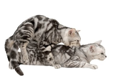 American shorthair cat in the act of mating
