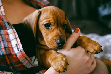 2 months old dachshund puppy laying comfortably in hands of its owner
