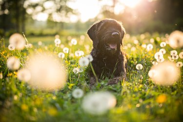 Portrait of black mutt dog during sunset on meadow