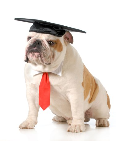 Pet graduation with cap and tie