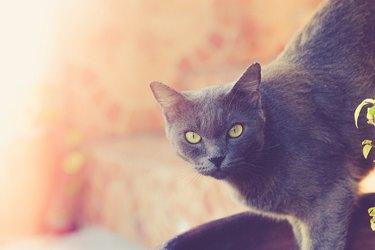 Korat Cat looking at the camera