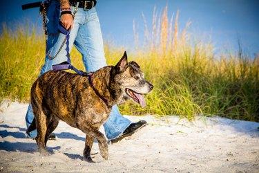 Woman walking her pitbull dog on the beach, Saint Petersburg, Florida, America, USA