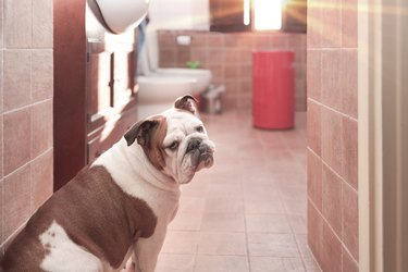 Dog turns away from the bathroom
