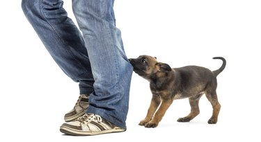 Belgian shepherd puppy biting and pulling leg against white background