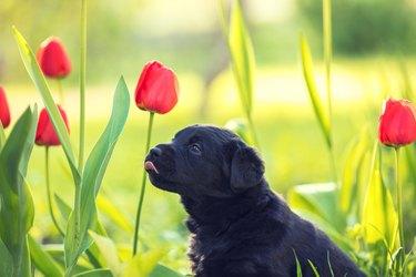 Labrador retriever puppy wearing dandelion wreath, sitting in the grass in spring