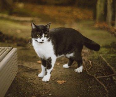 Young Tuxedo Tom Cat