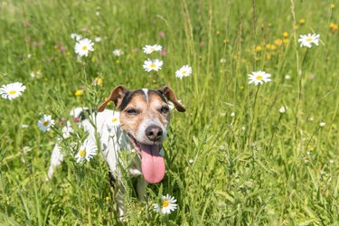 little dog sits in a blooming meadow in spring. Jack Russell Terrier  dog 11 years old