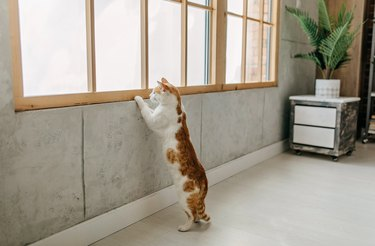 Domestic cat standing and looking through window