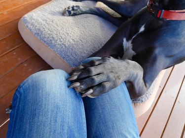 Dog putting his paw on woman's thigh