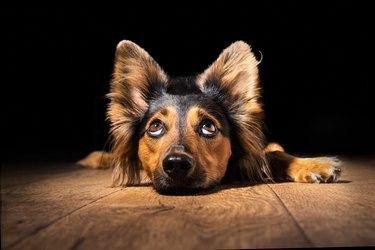 Dog lying on floor looking up