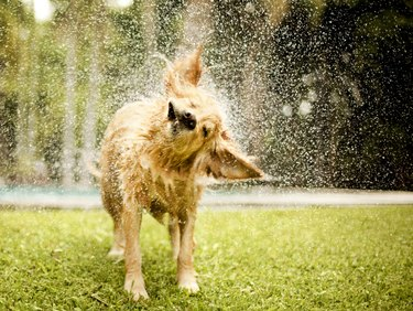 Golden retriever shaking off water in lawn
