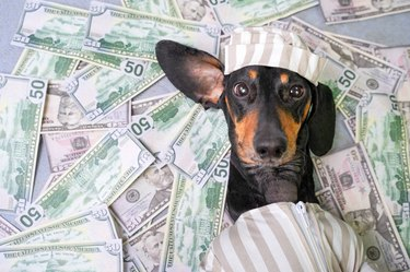top view of a happy dog breed dachshund, black and tan, lies on a pile of counterfeit money dollars in a criminal costume