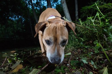 Pitbull dog in wilderness