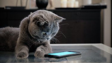 Cat with smart phone