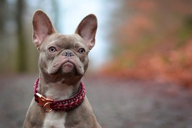 Beautiful rare colored lilac brindle female French Bulldog dog with light amber eyes and paracord collar