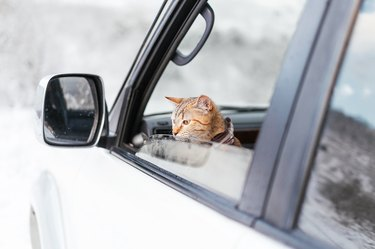 Cute traveler cat looking out of the car in winter.