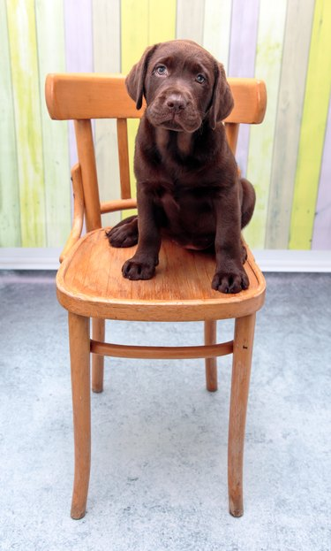 Chocolate Labrador puppy sitting on a chair facing the camera.