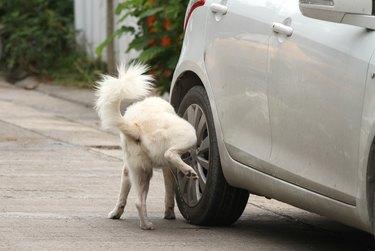 Dog peeing on wheel