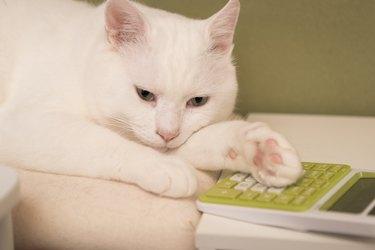 Cat Using a Calculator