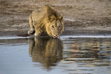 Lion (Panthera leo) at a waterpoint in Botswana, Africa,