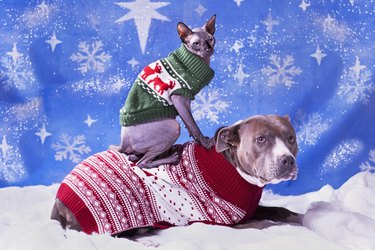 Holiday portrait of a Pitbull and a Sphynx cat in Christmas sweaters with blue snow flake background