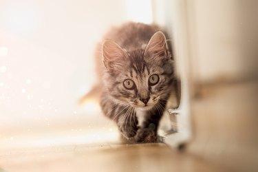 Close-Up Portrait Of Cat Walking On Floor