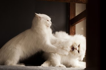 Two persian cats fighting