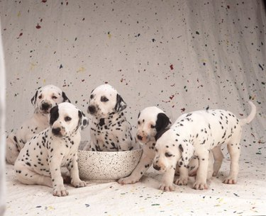 5 Dalmatian puppies on a paint spattered wall
