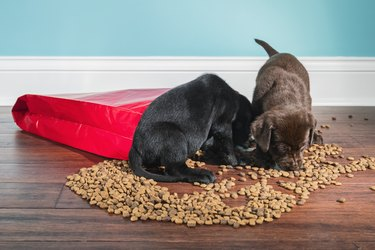 A Black and Chocolate Labrador puppies raiding a spilled bag of dog food - 5 weeks old