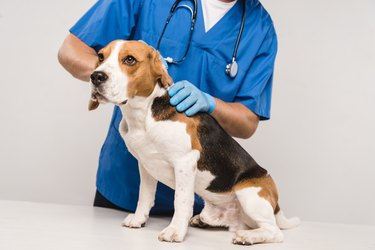 partial view of veterinarian in stethoscope examining beagle dog isolated on grey