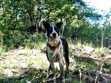 Hank the cow dog on a hike in Colorado