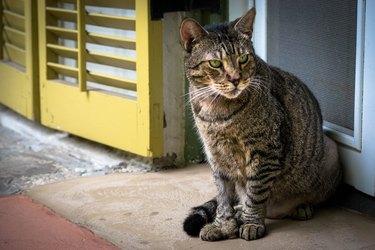 Hemingway cat with yellow shutters