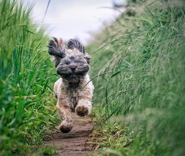 Small longhaired dog running through field