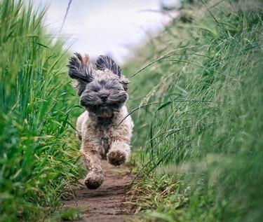 Small Furry Dog running Through Field