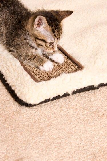Kitten using scratching board