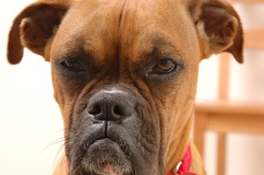 Annoyed Boxer