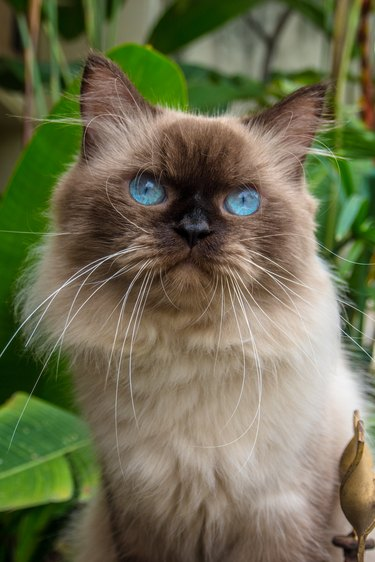 Portrait of a Himalayan cat, Indonesia