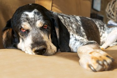 Bluetick Coonhound dog on couch
