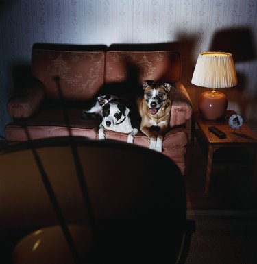 Two Dogs on Sofa Watch TV