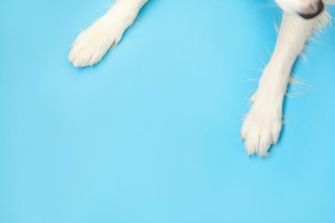 Funny puppy dog border collie paws close up isolated on blue background. Pet care and animals concept. Dog foot leg overhead top view. Flat lay copy space place for text