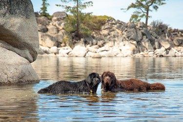 My Two Newfoundland Dogs