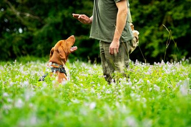 Beautiful Hungarian Vizsla puppy and its owner during obedience training outdoors. Sit cue side view.