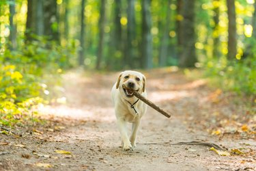 Yellow labrador with stick in forest