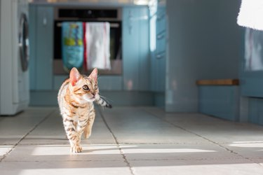 Cat Walking Indoors