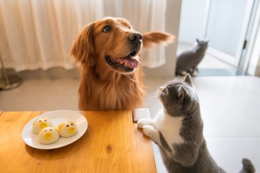 Golden retriever and cat looking at food on the table