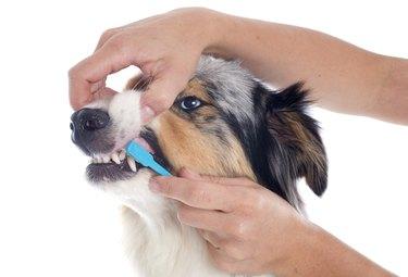 australian shepherd and toothbrush