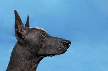 Profile portrait of adult Xoloitzcuintle dog (Mexican Hairless), male standard size. Beautiful dog with red mohawk on the head, harsh attentive look.