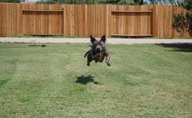 Athletic Blue Nose Pit Bull dog leaping through the air
